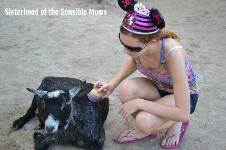 Just a girl grooming a goat.